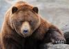 Photo Brown bear