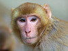 Photo rhesus monkey