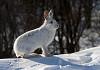 Photo snow bunny